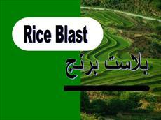 پاورپوینت بیماری بلاست برنج (Rice Blast)-علائم و پیشگیری