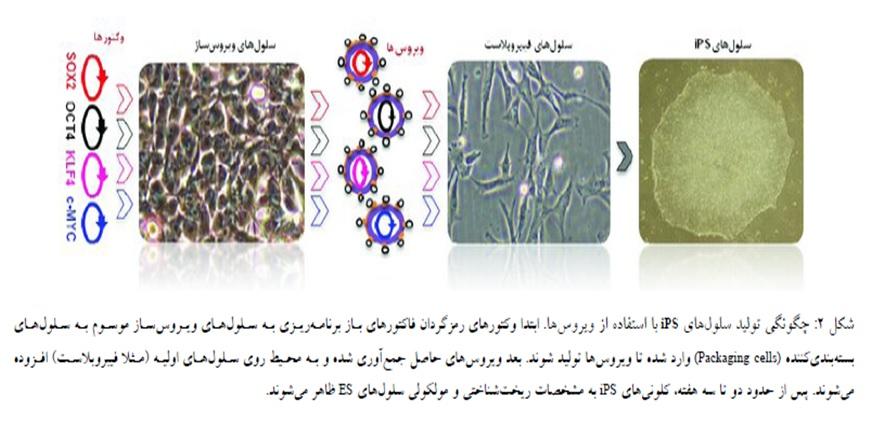 سلول های بنیادی پرتوان القایی از تولید تا کاربرد