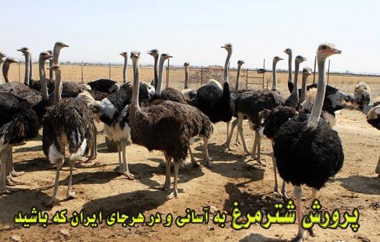 پرورش شتر مرغ - تغذيه