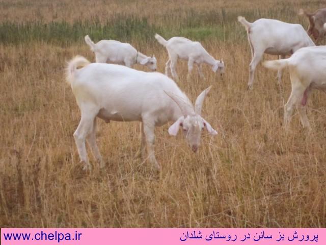 پرورش گوسفند و بز و بره،تغذیه،بیماریها و واکسنهای مربوطه